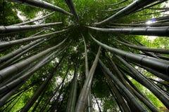 Konvergerande grön bambu Arkivfoton