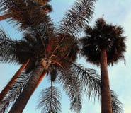 Konvergerande palmträd Fotografering för Bildbyråer