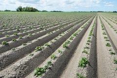 Konvergierende Kanten mit jungen frischen grünen Kartoffelpflanzen Stockfotos