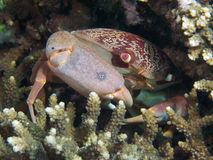 Konvex krabba fotografering för bildbyråer