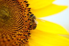 Konzentrieren Sie sich auf eine Biene, die auf einer Sonnenblumeblüte sitzt lizenzfreie stockfotografie