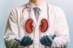 Konzept von gesunde Nieren stockbild