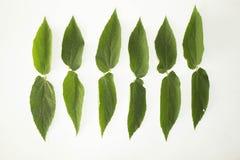 Konzept-Weißhintergrund des Blattes grüner Lizenzfreies Stockbild