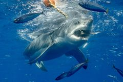 Kooi die met Great White-Haaien in Mexico duikt royalty-vrije stock foto's