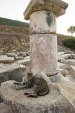 Kooi, een ingezetene van de oude stad van Ephesus bij de voet marmeren kolommen. Ephesus. Royalty-vrije Stock Afbeelding