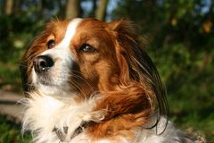 Kooijker dog longing for something Royalty Free Stock Images