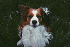 Kooiker, σκυλί στοκ φωτογραφία με δικαίωμα ελεύθερης χρήσης