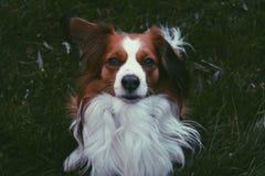 Kooiker, cane fotografia stock libera da diritti