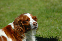 Kooikerhondje Royalty Free Stock Photography