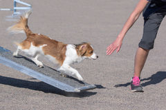 Kooikerhondje walking on teeter obstacle Stock Image