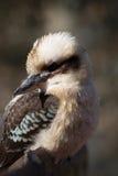 Kookabura, das auf einer Niederlassung sitzt Stockfotos