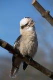 Kookabura, das auf einer Niederlassung sitzt Stockfoto