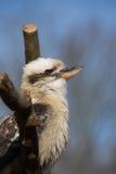 Kookabura que senta-se em um ramo Fotos de Stock Royalty Free