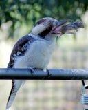 Kookaburra几乎失去的老鼠 免版税库存图片