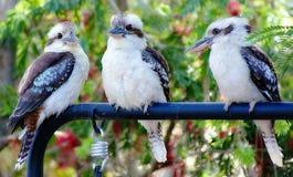 Kookaburra在我的庭院里 库存照片