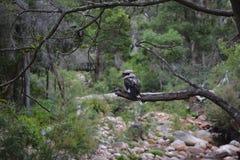 Kookaburra坐在河床上的一个树枝 免版税图库摄影