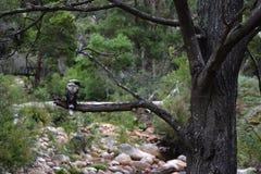 Kookaburra坐树枝 图库摄影