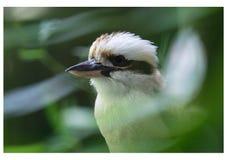 Kookaburra纵向 库存照片
