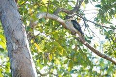 kookaburra被栖息的结构树 免版税图库摄影