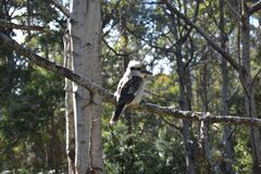 Kookaburra鸟,特点澳大利亚 图库摄影