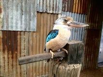 Kookaburra鸟 澳洲 免版税库存图片
