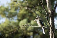 Kookaburra, Wilpena, SA,澳大利亚 免版税库存图片