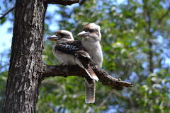 Kookaburra à ailes bleu Photo stock