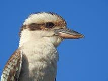 Kookaburra ή γέλιο jackass Στοκ φωτογραφίες με δικαίωμα ελεύθερης χρήσης