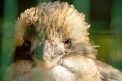 Kookaburra από την κινηματογράφηση σε πρώτο πλάνο στοκ φωτογραφία