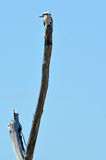 Kookaburra γέλιου - αυστραλιανά πουλιά Στοκ Εικόνα