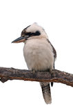 Kookaburra που απομονώνεται Στοκ Φωτογραφία
