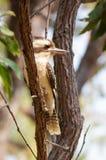 Kookaburra που στηρίζεται σε έναν κλάδο στοκ εικόνες με δικαίωμα ελεύθερης χρήσης