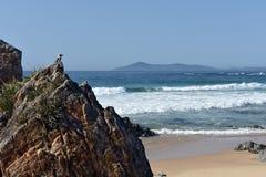 Kookaburra на австралийском пляже стоковая фотография rf
