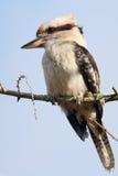 Kookaburra на вале Стоковые Изображения