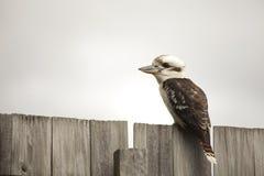 Kookaburra на загородке, австралийская птица Стоковая Фотография RF
