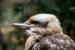 Kookaburra на зоопарке бронкс Стоковые Фото