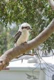 Kookaburra на крупном плане дерева Стоковое Изображение