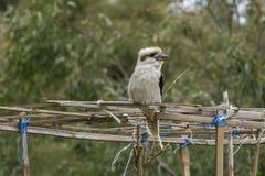 Kookaburra отдыхая на структуре Стоковое фото RF