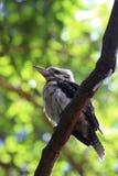Kookaburra терпеливо ждет свою добычу на ветви дерева Стоковые Фото