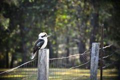 kookaburra fotografia de stock
