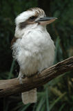 Kookaburra Fotos de Stock Royalty Free