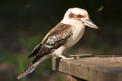 Kookaburra Immagine Stock