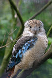 Kookaburra Stockfotos
