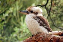 Free Kookaburra Royalty Free Stock Photo - 14249735