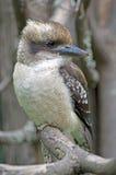 kookaburra笑 免版税库存图片