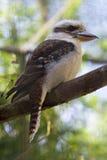 Kookaburra Royalty-vrije Stock Fotografie
