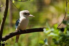kookaburra Стоковые Изображения RF