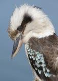 kookaburra arkivfoto