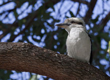 Kookaburra Stockfotografie
