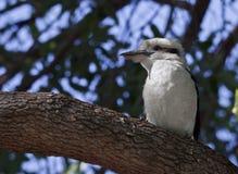 kookaburra Arkivbild